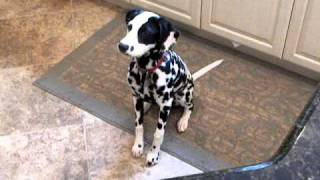 Scout The Dalmatian Barking