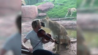 Irate lioness leaps at zoo glass as violinist attempts to serenade her