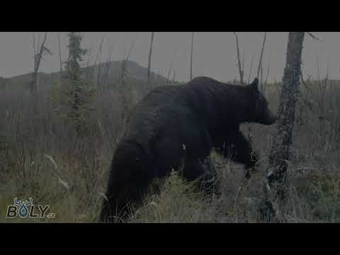 Ours Grizzly Yukon