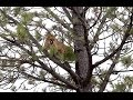 Semi Live Mountain Lion Hunt | Ep 2 Big Tom In A Tree video