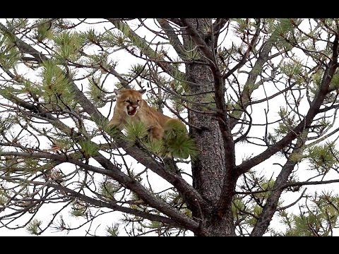 semi live mountain lion hunt ep 2 big tom in a tree youtube. Black Bedroom Furniture Sets. Home Design Ideas