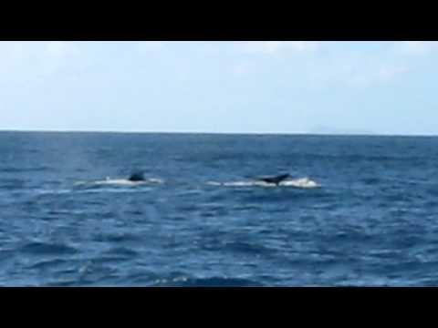 humpback whales kaua