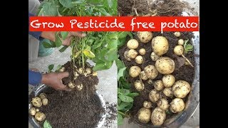 Grow potato in a bucket (with english subtitle)