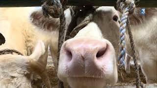 Bovins : plus de 500 bêtes de concours à Parthenay (79)