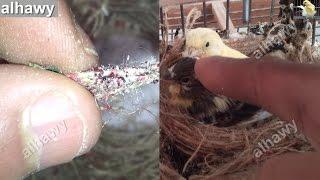 حشرة الفاش التي تقتل فراخ طائر الكناري