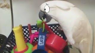 ВЕЛЕРКА смешное видео про животных. ПРИКОЛЫ ПОПУГАЙ