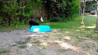 Boxer Lab Mix Puppy Plays With Sandbox! [11 Weeks]  [60fps]