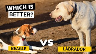 Beagle vs Labrador  Which is Better?