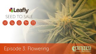Seed To Sale: How Legal Cannabis Is Grown - Episode 3 - Flowering