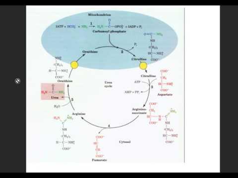 Urea cycle with mnemonic - YouTube - urea cycle