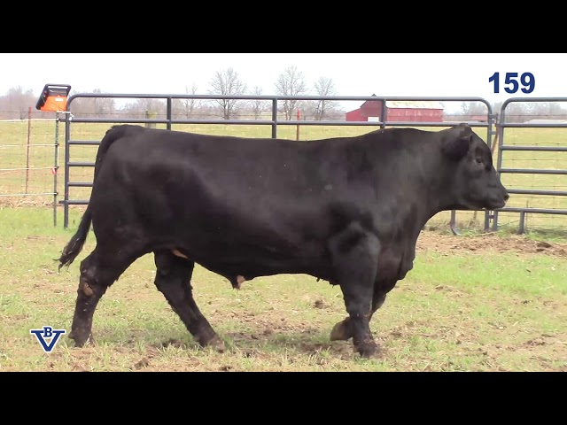Branch View Angus Lot 159