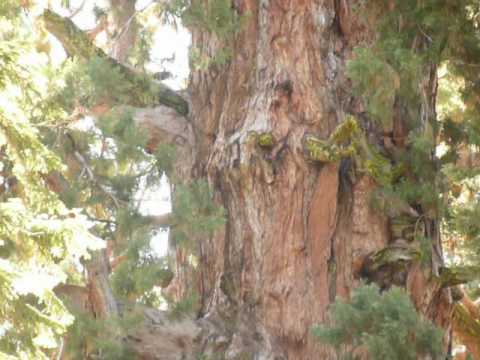 Largest Living Thing on Earth / General Sherman Tree