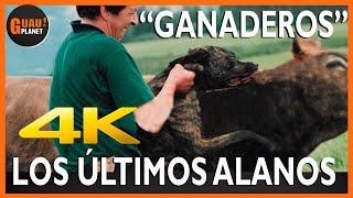ALANO ESPAÑOL ,LOS ÚLTIMOS ALANOS 'GANADEROS' 4K