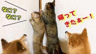 8ヶ月ぶりのお姉ちゃん帰宅に柴犬と猫大感激!They are so moved when my sister comes back