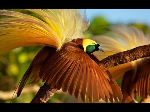 680 Gambar Burung Cendrawasih Full Hd HD Terbaik