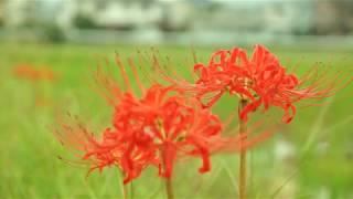 京都亀岡 彼岸花の里 Cluster amaryllis in Kyoto Kameoka
