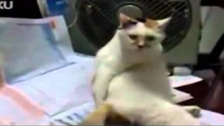 Ленивый кот царапает себя по попе