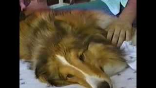 Diary Of A Mad Woofer-Butt (or: Shelties ROCK!)