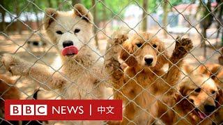玉林狗肉節:新冠肺炎打不死 汪星人何時免成「補身香肉」? - BBC News 中文