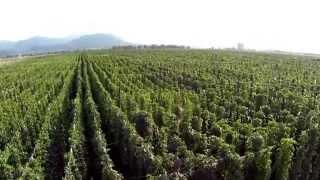 Savinjska dolina - Hmelj