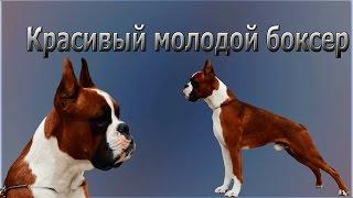 Собака породы немецкий боксер. Молодой рыжий кобель
