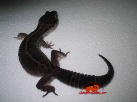 New Leopard gecko Morph!! BLACK PEARL