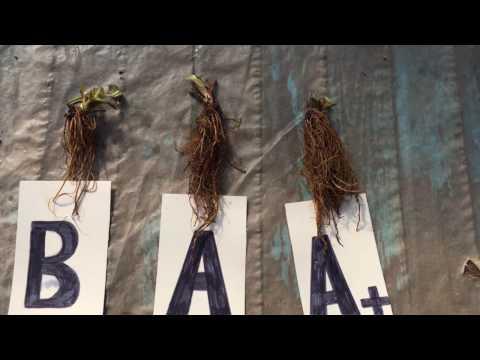 Вопрос: Какой урожай даёт рассада клубники фриго?