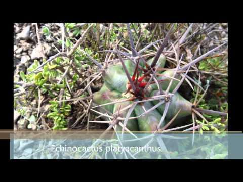 Cactus en hábitat: Cerritos, San Luis Potosí