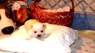 Щенки самой маленькой собачки в мире. Милашки щеночки чихуахуа. Орехово-Зуево