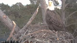 22/11/2015  17:24  Bald Eagle checks the nest (Skidaway)