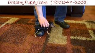 Dreamy Puppy - Teacup Miniature Pinscher Girl