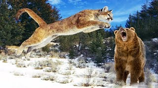 The Lucky Bear Escaped Out Of Clutches Hungry Puma | Animal Hunting