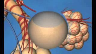 видео Газообмен в тканях и легких. Строение дыхательной системы