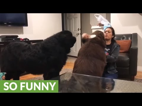 Newfoundland gets jealous of sibling, goes on the attack
