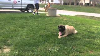 Distraction Proofing With Luna (10mo English Mastiff) - Dog Training Raleigh Durham