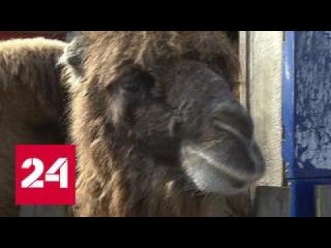 ЧП в Подмосковье: верблюд откусил руку хозяину