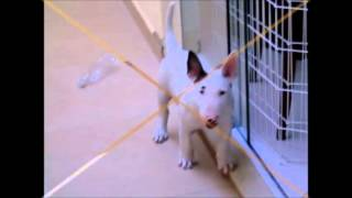 Bull Terrier Growing Up