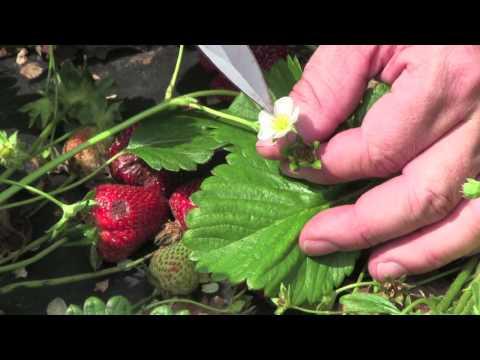 Strawberry Diagnostics: Anthracnose fruit rot (Colletotrichum acutatum)