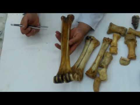 سكشن الاسبوع 4 اناتومي (carpal & metacarpal bones  ) - الفرقة الاولى طب بيطري طلبة البرنامج ( FSH)