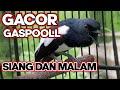 Pancingan Ampuh Bangkitkan Gairah Kacer Kacer Gacor Siang Malam  Mp3 - Mp4 Download