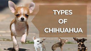 Types of Chihuahua in the World | Chihuahua Dog Types by Dog Lovers