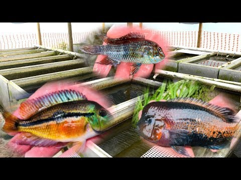 *PRIVATE* Rare Cichlid Fish Farm Tour