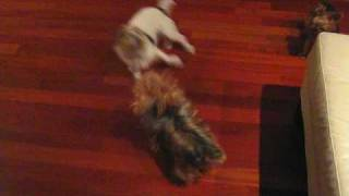 Wrigley The Jack Russell Terrier Vs. Brandy The Yorkshire Terrier