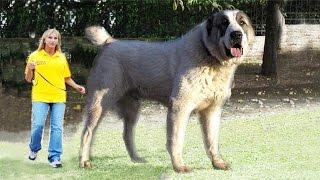 видео Собака Алабай (среднеазиатская овчарка): описание породы, фото, цена щенков, отзывы