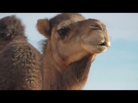 A Camel Saying, 'Hey I like you...' Listen to her