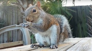 4K Video Test UHD Squirrel Eating Peanuts - Droid Turbo 2