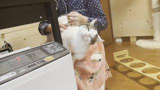 豆大福が娘の膝の上で寛ぐ動画を見る娘の膝の上でくつろぐ猫