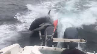 Killer whales chase boat - 1004029