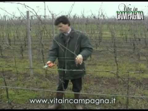 Potatura della vite a cordone speronato youtube - Potatura vite uva da tavola ...