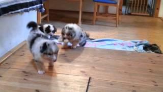 21.01.2014 Mystic Highlands Australian Shepherd Puppies